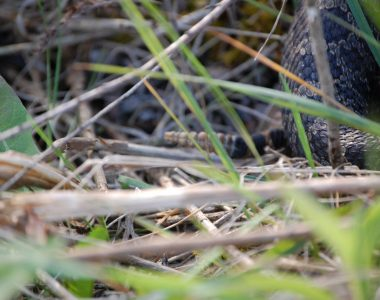 ACRES Research: Endangered Eastern Massasauga Rattlesnake